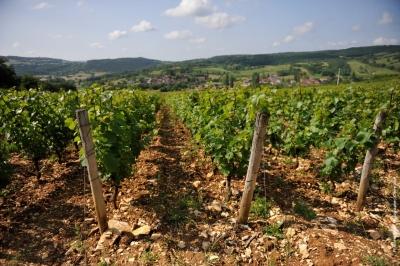 Bourgogne vigne en verre